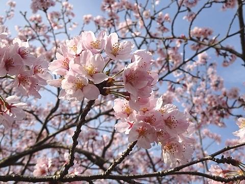 Sakura_h290409_01.jpg
