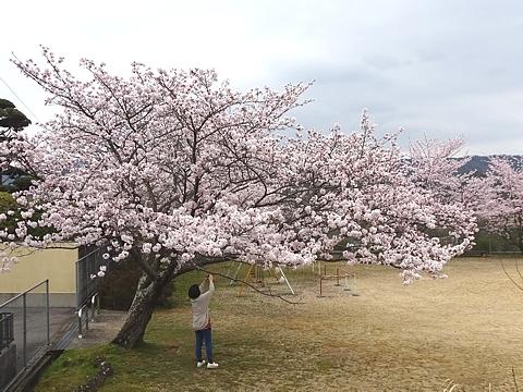 Sakura_h290409_02.jpg